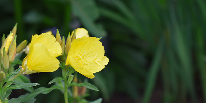 yellow evening primrose flowers with green foliage